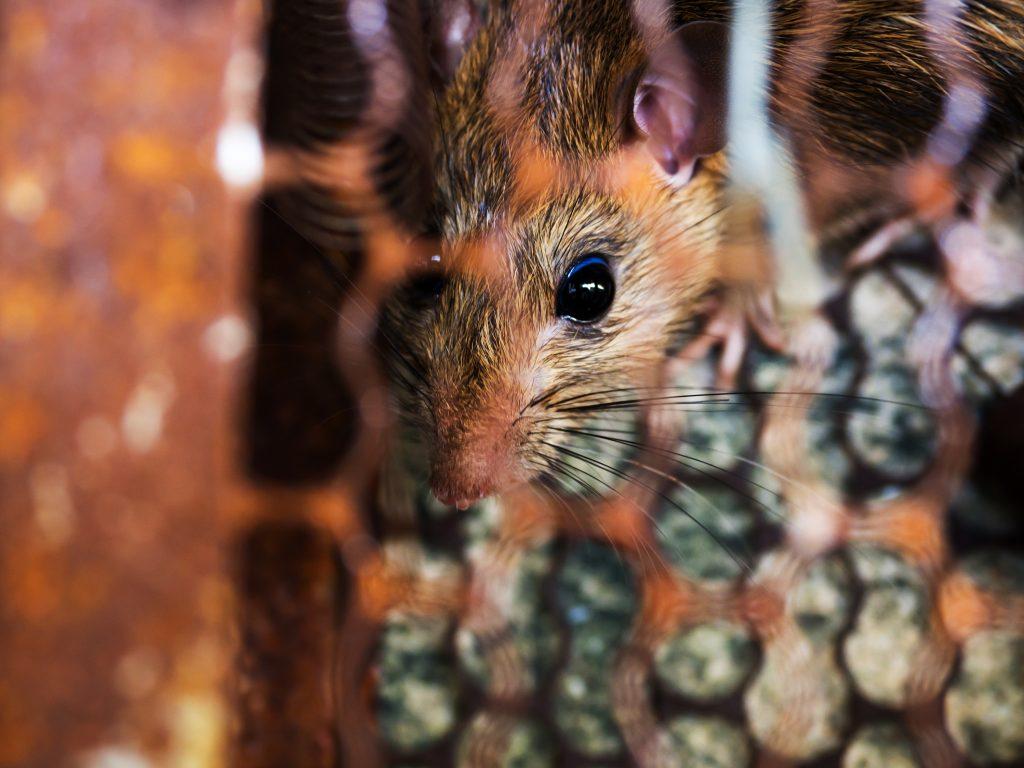 Rata atrapada en una trampa de control de plagas